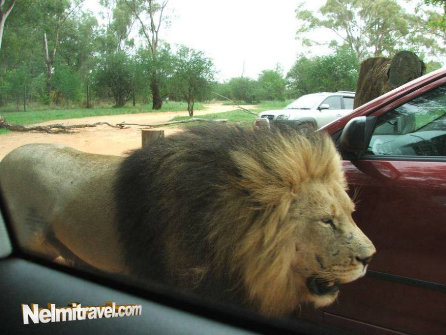 A large male lion walking between the cars.