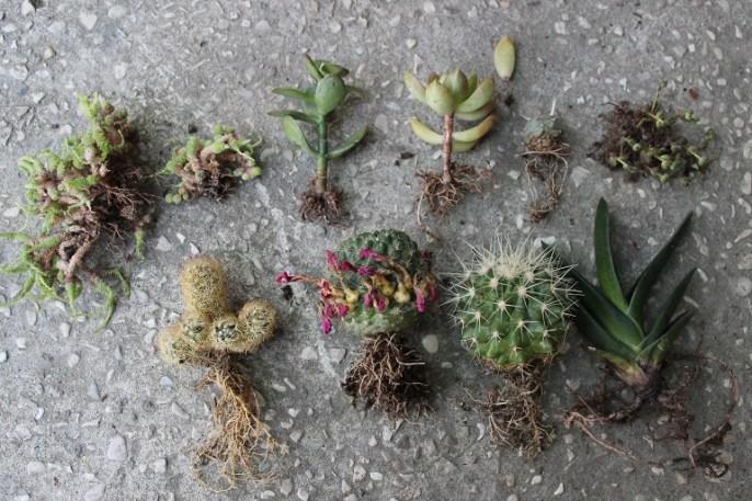 cactus da quest'inverno a ora, trapiantati tutti assieme