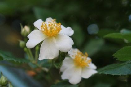 Rosa Helenae
