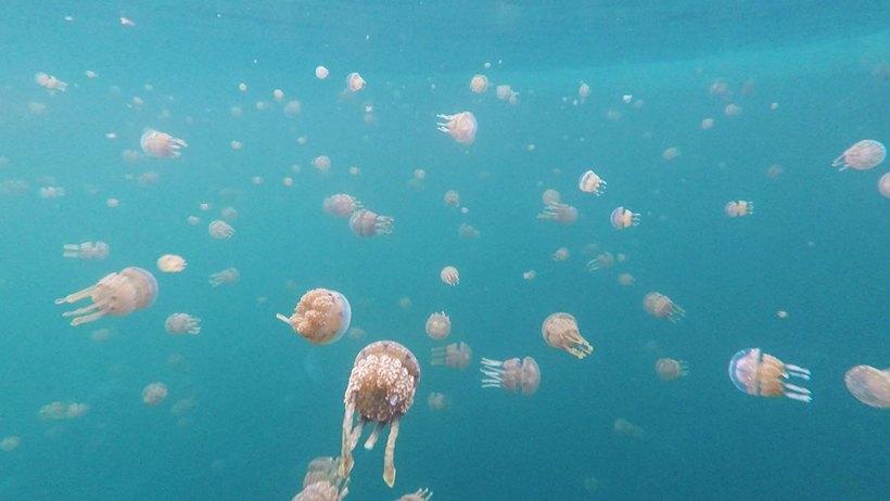 Stingless jellyfish in Sohoton Cove