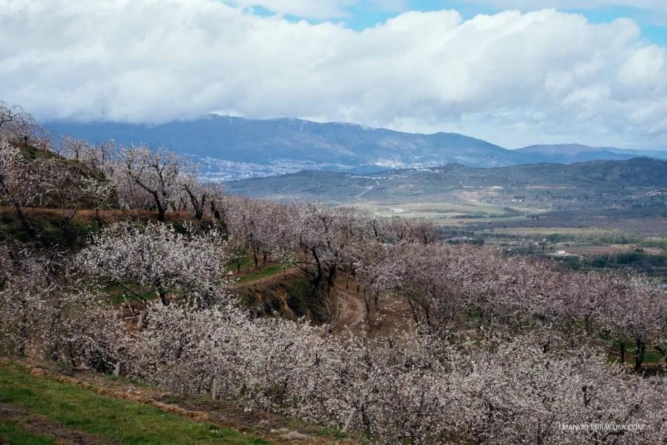 Cherry Blossoms, with the Serra da Estrela in the background, Fundao, 2016