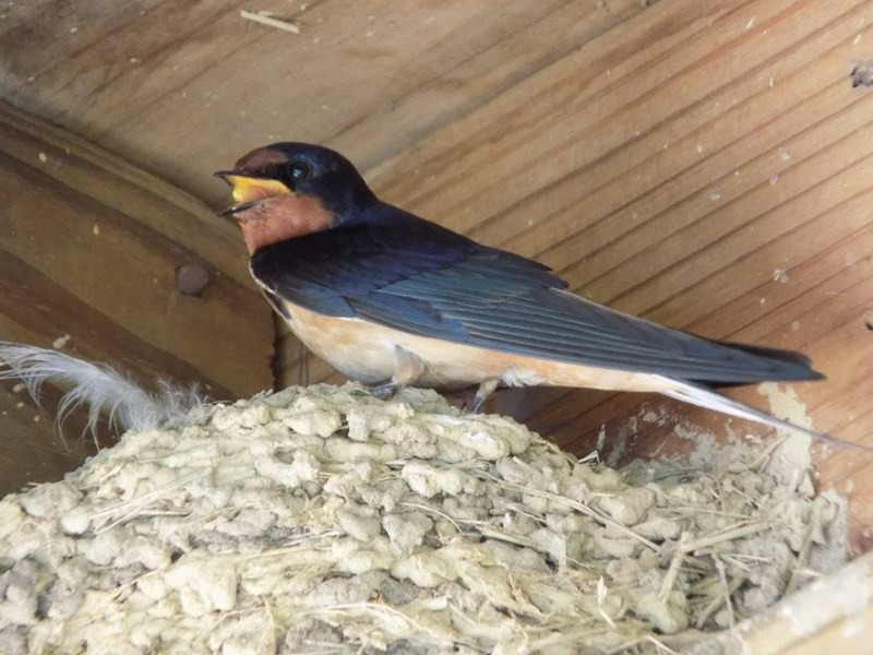 barn swallow in nest.jpg