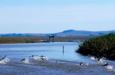 Uruguay, Rocha, arroyo de Balizas, gallinetas, animal