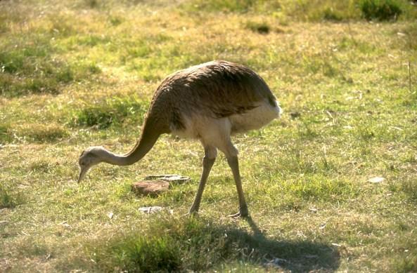 Uruguay, Tacuarembo, Ñandú, animal