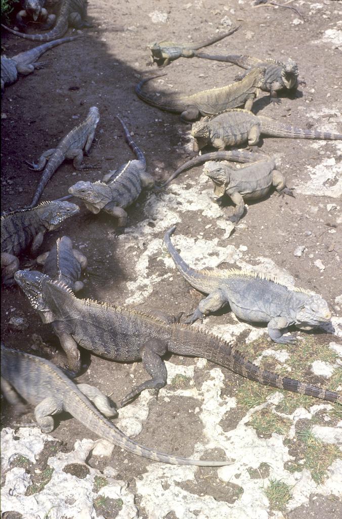 Cuba, Cayo Iguana, Iguanas, animal