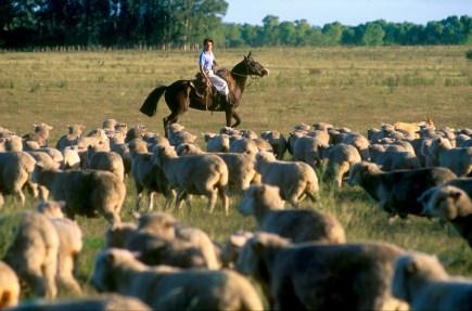 Uruguay, Dp, Mercedes, Estancia La Sirena, arreando el ganado