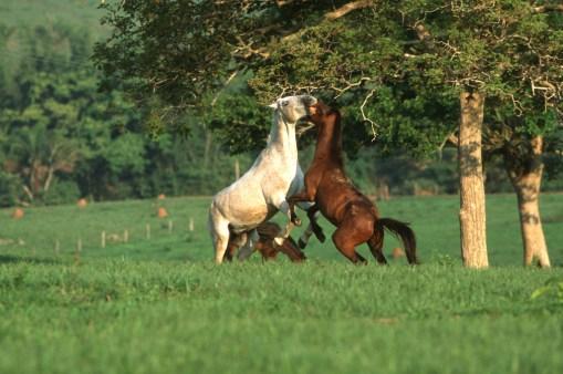 Bolivia, Chiquitina, caballos, animales