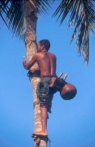 Sri Lanka, Bentota, Recogida de Savia de la Palmera de Coco, Agua Ardiente de la palmeras, árbol