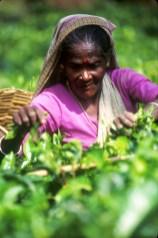 Sri Lanka, N'elya, Cosecha, del Té, retrato