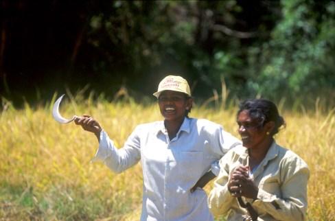 Sri Lanka, Nergalla, campos de arroz, cosecha, trabajo, retrato