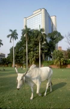 India, Delhi, vaca sagrada
