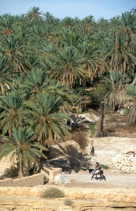 Túnez, oasis de montaña, Mides, Palmerales, animal