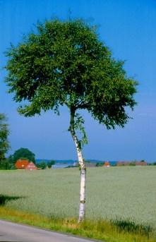 Alemania, Baja Sajonia, Lüneburg, campiña, árbol