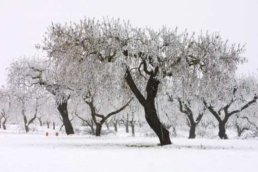 Catalunya, Pla D'Urgell, Mollerusa, árbol