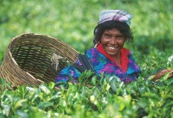 Sri Lanka, Nelya, Cosecha del Té, retrato