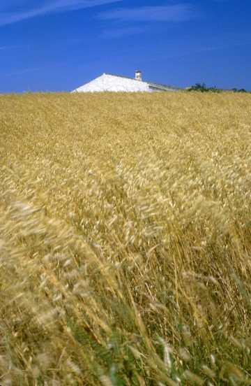 España, Menorca, campos de trigo