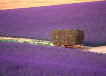 Francia. Provenza, Lavanda