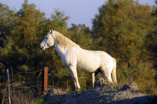Camargue, Vocas del Rodano, Sainte Maires de la Mer, caballos