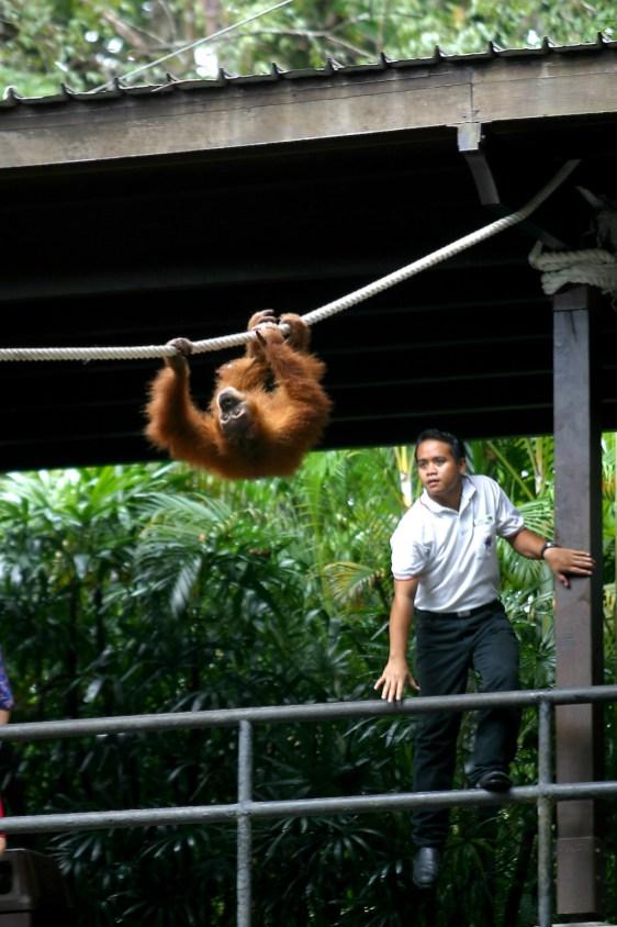 Singapur, Zoológico, Orangutan y entrenador, retrato, animal