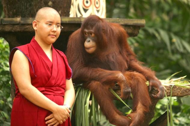Singapur, Zoológico, foto con orangutan, retrato, animal