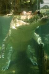 Singapur, Zoológico, cocodrilo, animal