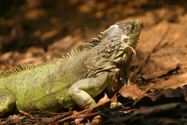 Singapur, Zoológico, iguana, animal