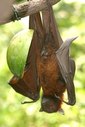 Singapur, Zoológico, murciélago