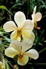 Singapur, Orchidville, plantación de Orquídea