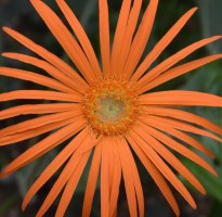 Pale orange flower