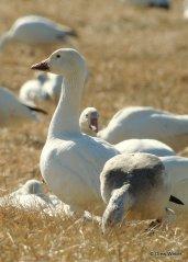 snow-goose-11