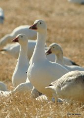 snow-goose-21
