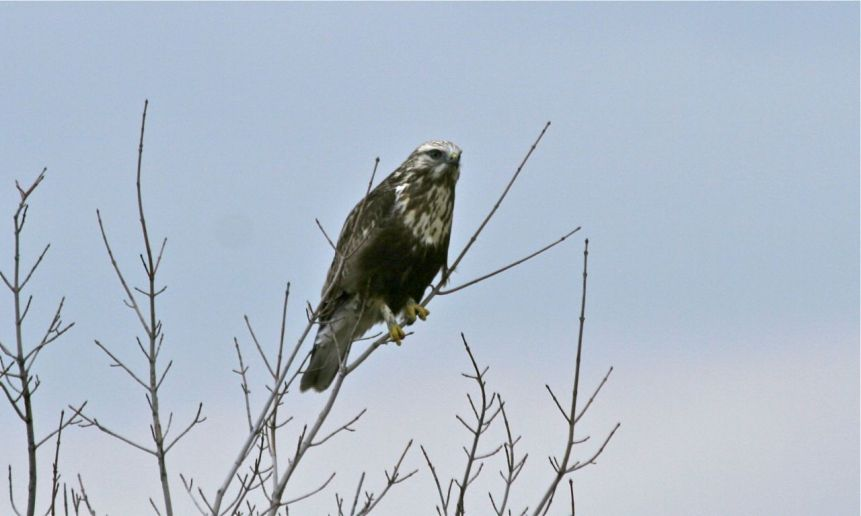 Rough-legged Hawk- Shiloh Rd, Centre Co