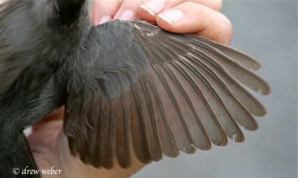 Gray Catbird wing showing a molt limit.