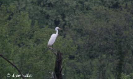 Great Egret- Toftrees Pond1
