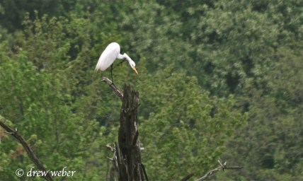 Great Egret- Toftrees Pond2