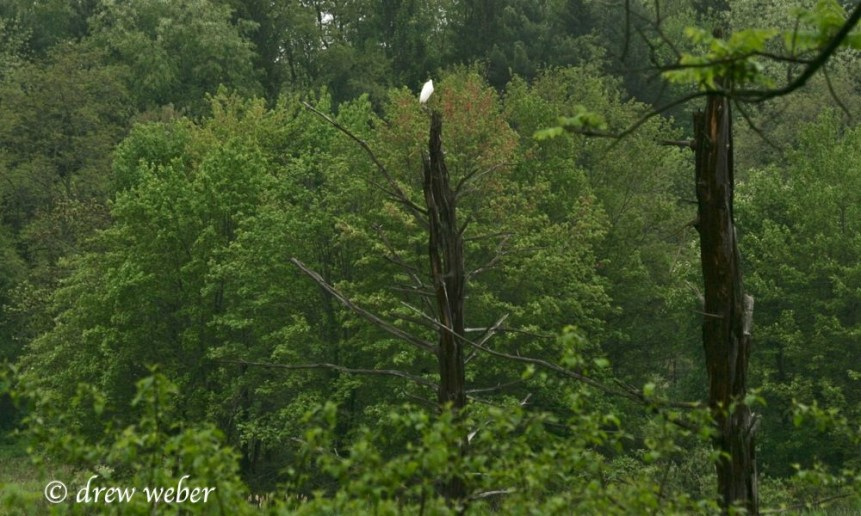 Great Egret- Toftrees Pond3