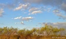 White Ibis - Kissimmee