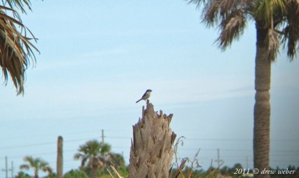 Loggerhead Shrike - Viera Wetlands