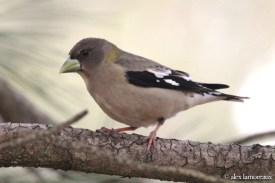 Evening Grosbeak - female