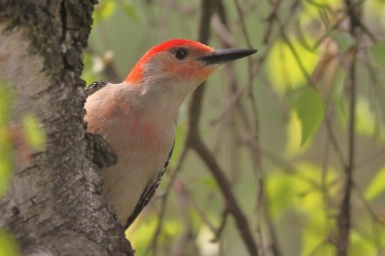 Red-bellied Woodpecker - photo by Alex Lamoreaux