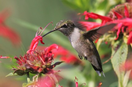 Ruby-throated Hummingbird – photo by Alex Lamoreaux