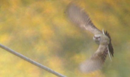 Western Kingbird - VanDyne Spoor Rd2