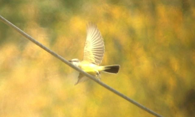 Western Kingbird - VanDyne Spoor Rd3