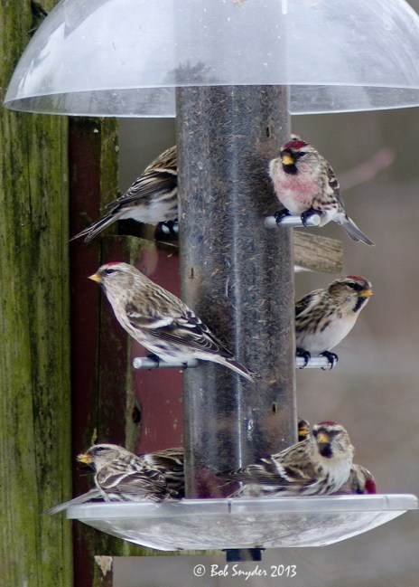 A portion of the 12+ redpolls at a feeder in Howard on January 6th. (Photo by Bob Snyder)