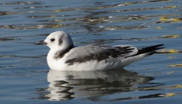 Black-legged Kittiwake - photo by Ted Keyel
