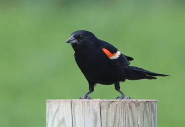 Red-winged Blackbird - photo by Ted Keyel