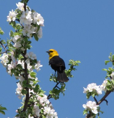 Yellow-headed Blackbird - photo by Ted Keyel