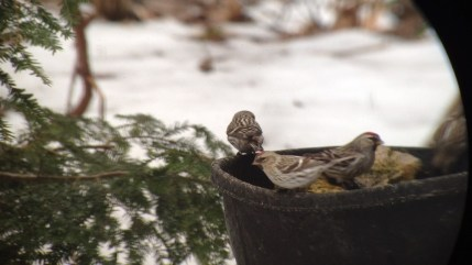 Hoary Redpoll in front with Common Redpolls behind