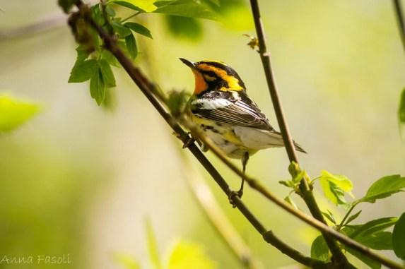 Blackburnian Warbler - Anna Fasoli