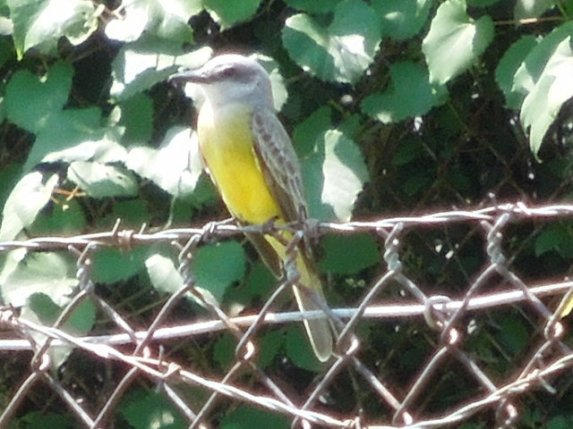 Photo taken by Alex Zorach See more at http://cazort.net/photos/yellow-bellied-kingbird-01